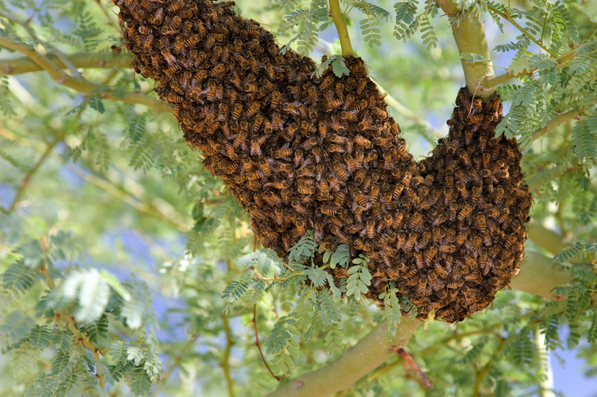 Africanized Honey Bees
